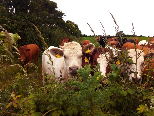 Here the cows stand before me as my audience