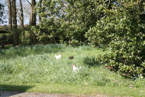 Our Chickens enjoying the long grass