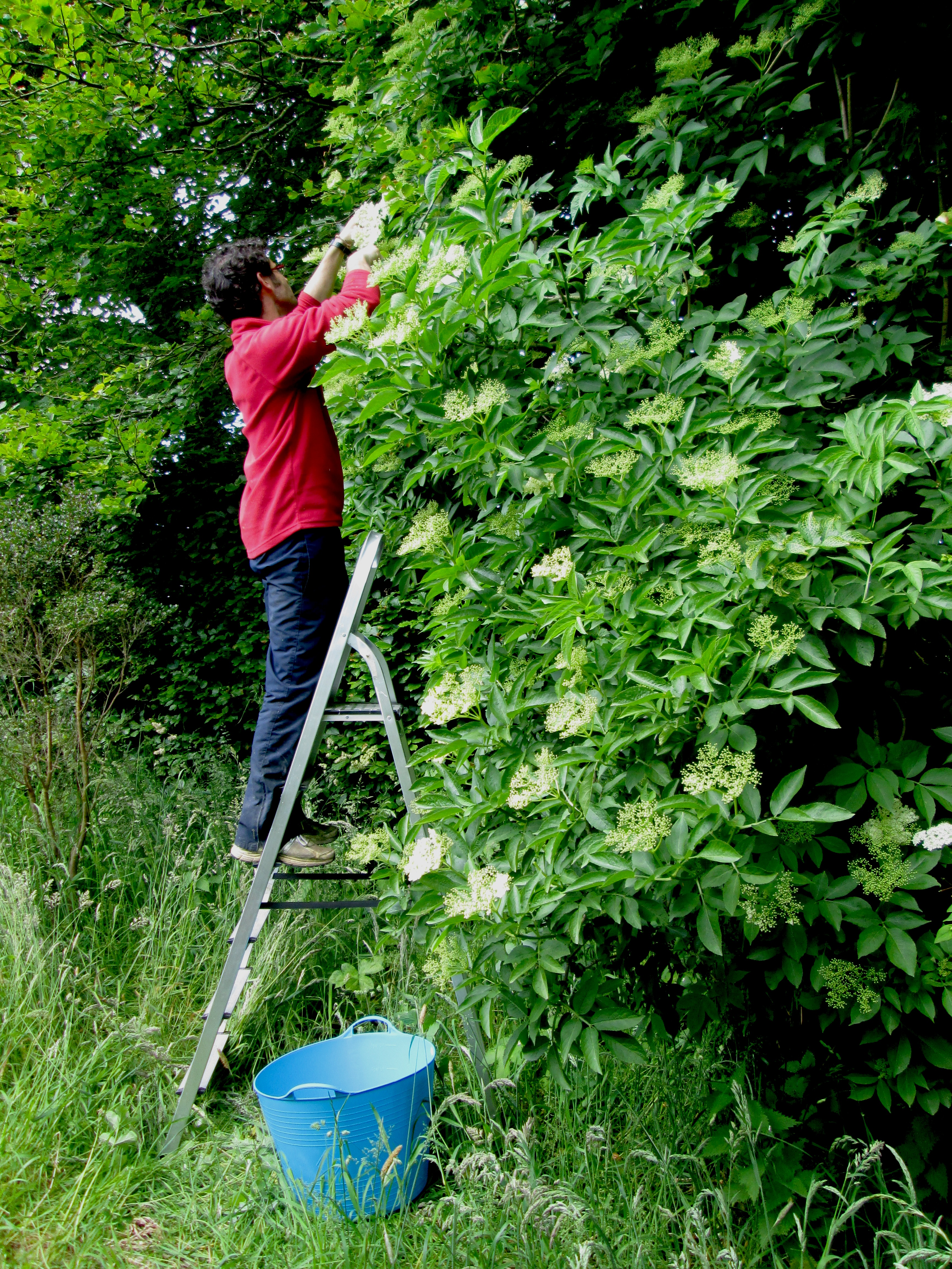 Jose snipping away... getting into the spirit of all things Elderflower!