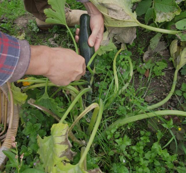 Courgette:Zucchini