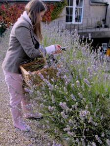 Lavender cutting continued