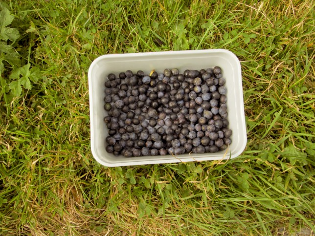 Picking Sloes from the Hedgerows