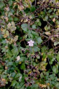Hedge Flower
