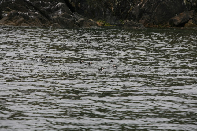 Puffins swimming